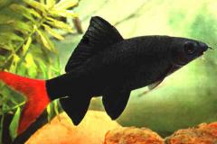 Epalzeorhynchos-bicolor-Labeo-bicolor